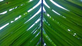 Areca φύλλα καρυδιών στοκ εικόνες
