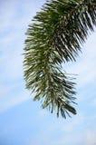 Areca φύλλα φοινικών Στοκ φωτογραφία με δικαίωμα ελεύθερης χρήσης