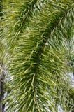 Areca φύλλα φοινικών Στοκ Εικόνες