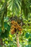 Areca arecaidine/betel - δέντρο καρυδιών με τα κίτρινα φρούτα Στοκ φωτογραφία με δικαίωμα ελεύθερης χρήσης