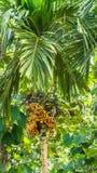 Areca arecaidine/betel - δέντρο καρυδιών με τα φρούτα Στοκ φωτογραφία με δικαίωμα ελεύθερης χρήσης