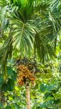 Areca arecaidine / Betel nut tree with fruits Royalty Free Stock Photo