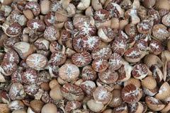 areca betel ξηρά καρύδια Στοκ Φωτογραφία