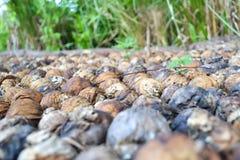 areca betel ξηρό καρύδι Στοκ Εικόνες
