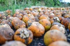 areca betel ξηρό καρύδι Στοκ εικόνες με δικαίωμα ελεύθερης χρήσης