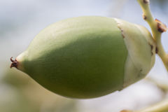 Areca Catechu καρύδι Στοκ Εικόνες