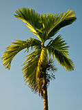 Areca catechu Royalty Free Stock Images