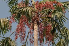 Areca catechu or betel nut is colorful in a garden. Common names including the areca palm, areca nut palm, betel palm, Indian nut royalty free stock image