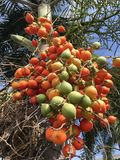 Areca catechu fruit. In nature garden stock image