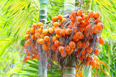 The Areca catechu nuts. The Areca catechu are popular for chewing throughout some Asian countries. Nuts contains alkaloids such as arecaidine and arecoline royalty free stock photography