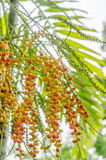 Areca catechu: plam plant from asia. Royalty Free Stock Photo