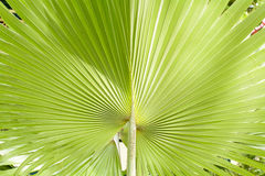 Areca catechu. Is a species of palm which grows in much of the tropical Pacific, Asia, and parts of east Africa. Effects of  color, very fresh stock image