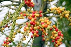 Areca catechu tree in the garden. Royalty Free Stock Photo