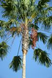 Areca catechu tree. In nature garden stock image