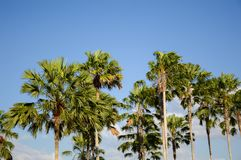 Areca catechu tree. In nature garden royalty free stock photography