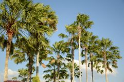 Areca catechu tree. In nature garden royalty free stock photos