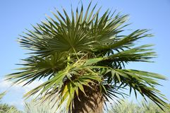 Areca catechu tree. In nature garden stock photo