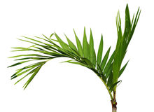 Areca catechu Tree. Young Areca catechu palm tree isolated on white background stock photography
