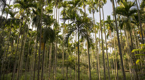 Areca catechu trees. In agricultural farm in Nilgiris stock image