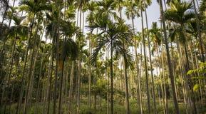 Areca catechu trees Stock Image