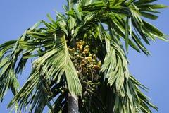 Areca catechuboom/Hildegard Puwak-boom Stock Afbeelding