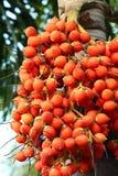 Areca de Palm van de Noot Royalty-vrije Stock Foto's