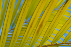 Areca foliage with blue sky. As background making an interesting beautiful abstract pattern Royalty Free Stock Photo