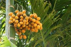 Areca fruits Royalty Free Stock Photography