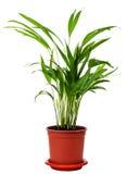 areca houseplant Στοκ Εικόνα