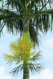 Areca inflorescence stock images