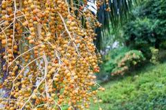 Areca Noot van Areca palm Middelgroot Schot royalty-vrije stock foto