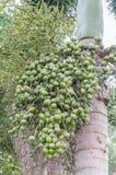 Areca nut or Areca catechu Stock Images