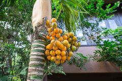 Areca nut or Areca catechu. On the tree royalty free stock images