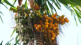 Areca Nut stock footage