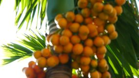 Areca Nut stock video footage