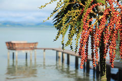 Areca nut palm Stock Images
