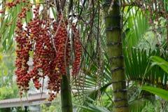Areca nut of tropical palm tree. Close up of the Areca nut of tropical palm tree Stock Images