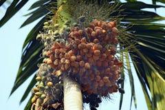 Areca nuts on plant Stock Image