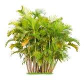 Areca palm Royalty-vrije Stock Foto's