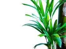Areca palm die op wit wordt geïsoleerd stock fotografie