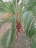ARECA PALM & x22;DIPSIS LUTSCENS royalty free stock photography