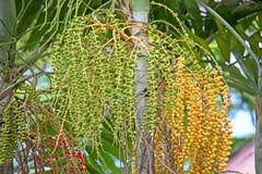 Areca palm fruits Stock Photography