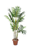 The areca palm isolated on the white background Stock Photos