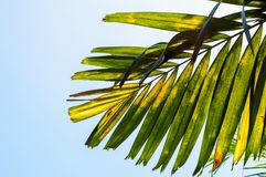 Areca palm leaves. In nature garden royalty free stock images