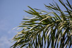 Areca palm leaves. In nature garden royalty free stock image