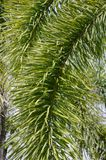 Areca palm leaves. In nature garden stock photo