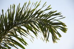 Areca palm leaves royalty free stock photo