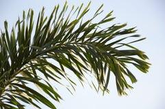 Areca palmbladen royalty-vrije stock foto