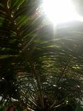Areca PalmPlants stock fotografie