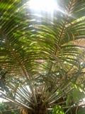 Areca PalmPlants royalty-vrije stock afbeeldingen